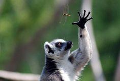 Lêmure momentos antes de capturar um inseto.