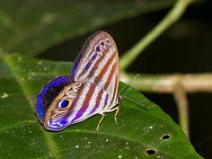 Euselasia eutychus; 29.10.2014/Apuya-Ecuador-IMG_2238   Flickr - Photo Sharing!