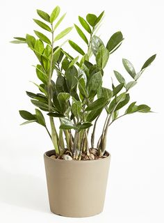the easiest plant to care for is the ZZ plant. This low- light tropical plant is happy in virtually any condition. Although it prefers at least some light, you can keep it in a fairly dark room. The ZZ plant does not like to be watered very often, and you should make sure the soil is dry before watering.