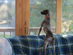 #GSP German Shorthaired Pointer #braque Allemand