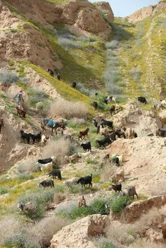 Shepherd & His Goats In The Mountains Of Israel