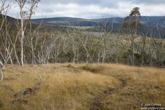 Discover Dinner Plain - Victoria - Pinoy Living In Australia. This is a 3km return trip trail at Dinner Plain