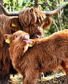 If You Ever Feel Sad, These 85 Highland Cattle Calves Will Make You Smile Cute Baby Cow, Baby Animals Super Cute, Baby Cows, Cute Cows, Cute Little Animals, Cute Funny Animals, Baby Elephants, Cow Pictures, Baby Animals Pictures