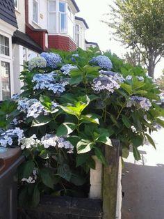 hortenzia13 Garden, Plants, Garten, Lawn And Garden, Gardens, Plant, Gardening, Outdoor, Yard