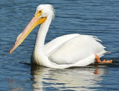 An American white pelican floats while it hunts for its dinner on a Florida waterway.