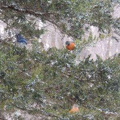 Birds in the storm eating Cedar berries.