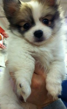 Papillon puppy, this is for you, Ross !