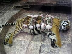 A mother tiger lost her cubs due to premature labour. Shortly after, she became depressed and her health declined. She was later diagnosed with depression. Since tigers are endangered, every effort was made to secure her health. Zoologists wrapped piglets up in tiger-print cloth, and presented them to the mother tiger. She now loves these piglets and treats them like her own. And needless to mention, her health is back on track. ♥
