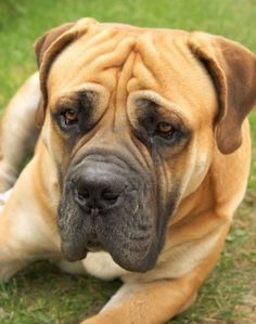 Boerboel (South African Mastiff)  (I watch this breed of dog one day a week, sometimes more.  Her name is Randori, and she is a 130 pounds of love.)