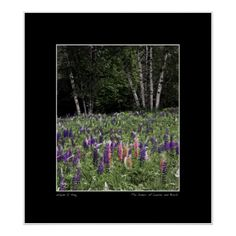 Lupine field framed by white birch trees. Manipulated color image. Photographed in Sugar Hill, New Hampshire. Open edition fine art prints can be purchased here:  http://fineartamerica.com/featured/dance-of-lupine-and-birch-wayne-king.html http://www.redbubble.com/people/waynedking/works/12768910-dance-of-lupine-and-birch