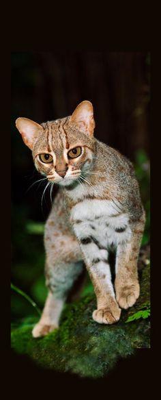 Rusty-spotted cat [Prionailurus rubininosus phillipsi] in Sri Lanka