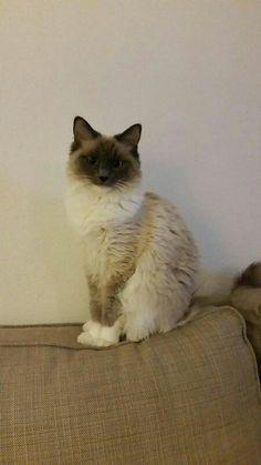 Fluffy 1 jaar 🎉 Cats, Animals, Gatos, Animales, Animaux, Animal, Cat, Animais, Kitty