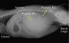 Is your dog pregnant? Find out what to expect when your dog is expecting, and how you can take care of your pregnant dog and her new puppies. Puppy Care, Dog Care, Veterinary Radiology, Whelping Puppies, Pregnant Dog, Family Dogs, Dog Training Tips, New Puppy, Baby Animals