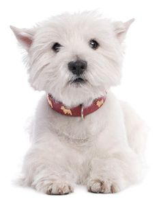 Essential info and fun facts about the West Highland White Terrier, a breed better known as the Westie.