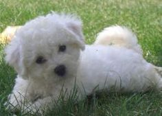 Healthy Bichon Puppies - Look At This Bichon Puppy: This is how Bichon Frise Dogs look like when they are healthy