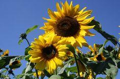 Sommerblüher - Sonnenblume, Foto: Birgit Puck