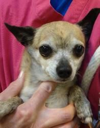 13-0599 Gerry Garcia is an adoptable Chihuahua Dog in Bensalem, PA. I am a neutered Chihuahua named Gerry Garcia. My previous owners could no longer care for me so they brought me to WHS where I am ea...