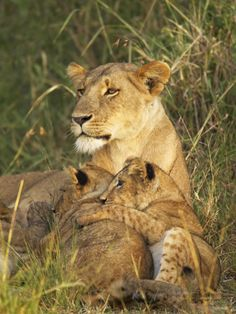 Lioness with Two Cubs (Panthera Leo), Masai Mara Game Reserve, Kenya, East Africa, Africa Photographic Print