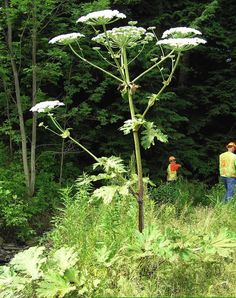 Giant Hogweed - if touched, can cause almost instant blistering, or if rubbed in eyes, can cause BLINDNESS.  PLEASE read about these non-edible plants, some of which can be FATAL. Let your children see these and make sure they know not to touch plants without permission.