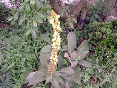 Verbascum epixanthinum Outdoor Entertaining, Outdoor Gardens, Seeds, Vegetables, Plants, Vegetable Recipes, Plant, Veggies, Planets