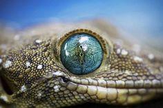 Green-Eyed Gecko Photo, Animal Wallpaper - National Geographic Photo of the Day - national geographic photos Tier Wallpaper, Animal Wallpaper, Photo Wallpaper, Mobile Wallpaper, 1080p Wallpaper, Beautiful Creatures, Animals Beautiful, Crocodile Eyes, Lizard Eye