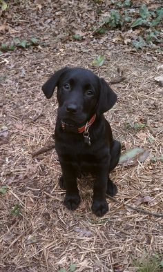 Our black lab, Boone. He is growing up so fast!!