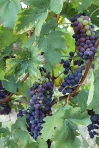 """The vines they are a changin'"" - Tabarrini Montefalco #Tabarrini #blog #wine #Italy"