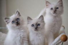 Sacred Birman Kittens | Cattery van 't Peeland | The Netherlands | www.kittentekoop.nl