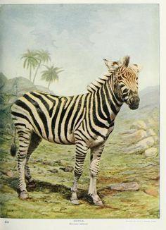 Zebra, Nature Neighbors: Embracing birds, plants, animals, minerals, Vol V, Nathaniel Moore Banta, 1914.