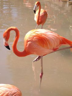 Flamingo duo at the San Diego zoo.  They really were this bright orange!