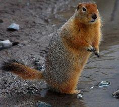 Arctic Ground Squirrel   photo Giant Squirrel, Ground Squirrel, Brown Bear, Arctic, Alaska, Squirrels, Parka Style, Cousins, Animals