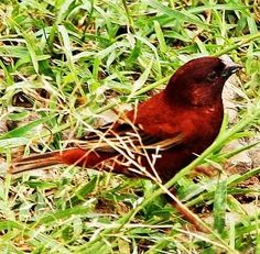 Birds of the World: Chestnut sparrow