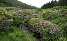Rhododendrons in the Knockmealdown Mountains, Tipperary, Ireland