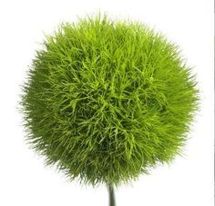 my favorite flower looks like it belongs in a dr seuss book. LOVE IT!  Green Dianthus