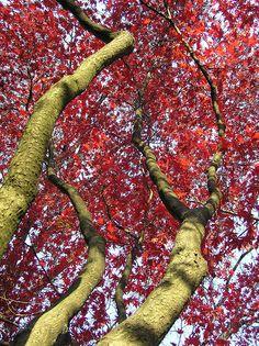 Japanese maple at Mt. Auburn Cemetery