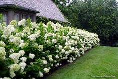 Hydrangea Shrub, Limelight Hydrangea, Hydrangea Paniculata, Hydrangea Garden, Hydrangea Landscaping, Backyard Landscaping, Oakleaf Hydrangea Landscape, Landscaping Ideas, Backyard Ideas