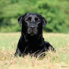 Beautiful English Labrador Retriever