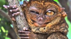 True Facts About The Tarsier - OMG... All of these videos are hilarious!!!!