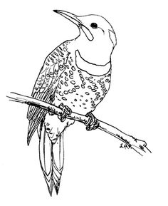 Northern Flicker Coloring Page From Category Select 30465 Printable Crafts Of Cartoons Nature Animals Bible And Many More