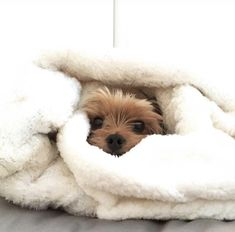 Yorkie bundled up in blanket Toy Yorkie, Yorkie Poodle, Biewer Yorkie, Yorkie Puppy, Yorshire Terrier, Puppy Images, Animal Magic, Yorkshire Terrier Puppies, Cute Cats And Dogs