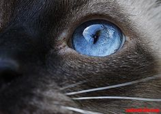 blue eyes - http://cutecatshq.com/cats/blue-eyes/