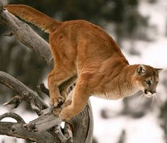 : Mountain Lion or puma found in the Americas Small Wild Cats, Big Cats, Cats And Kittens, Mundo Animal, My Animal, Pumas, Beautiful Cats, Animals Beautiful, Lion Hunting