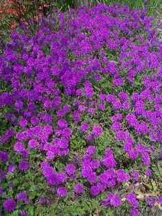 Homestead Verbena - ground cover, easy maintenance, adds impact to landscape.  It produces a mass of purple flowers over a long period from mid spring through the summer. Provide a well drained soil and full sunlight. Is fast growing and can cover a small sized area quickly.