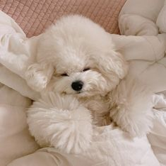 Pretty Animals, Cute Funny Animals, Cute Cats, Bichon Dog, Maltipoo Dog, Teacup Puppies, Cute Puppies, Animals And Pets, Baby Animals
