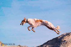z- Borzoi, 1, Running, Lf (european-borzoi.de) Jumping