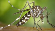 Chikungunya Virus is Expected to Become Established in the U.S. Ace Exterminators
