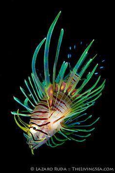 Invasive lion fish in Florida | by TheLivingSea.com