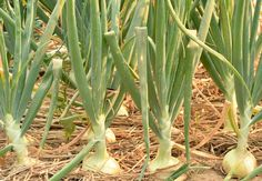Start Now for Fall Onions