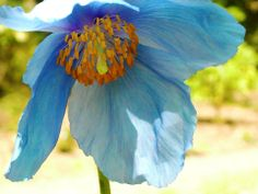 The Blue Poppies are starting to bloom! Come see the Meconopsis Meadow and delight in their ethereal blue charm.