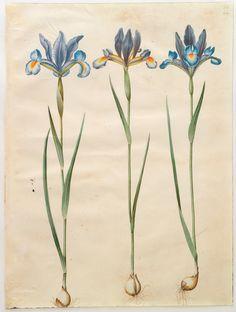 Iris xiphium simp et pl, KKSgb2947/60.